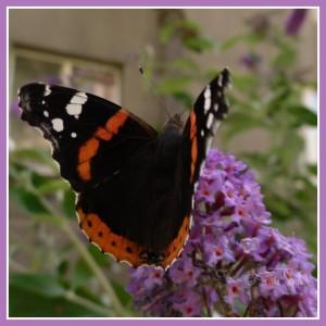 ...na motýlím keři...